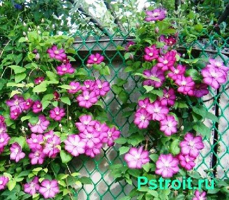 Многолетние лианы для сада